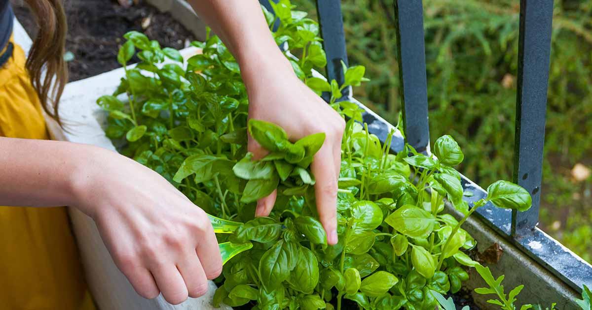 Young women cuts fresh herbs